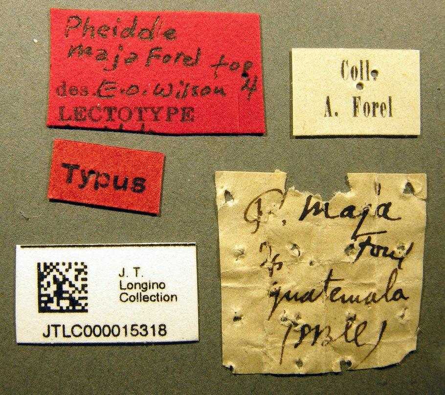 Image of Pheidole maja