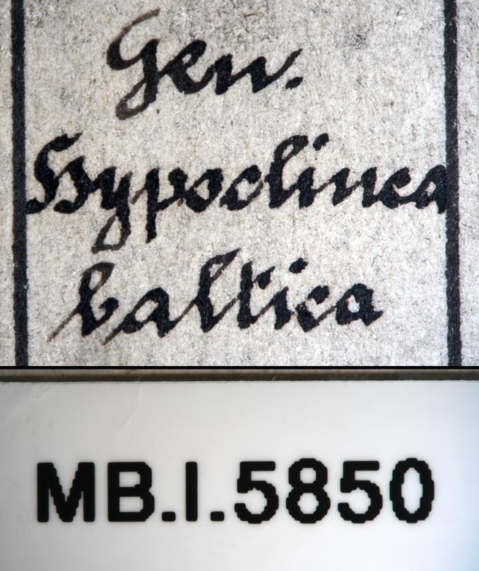 Image of Dolichoderus balticus