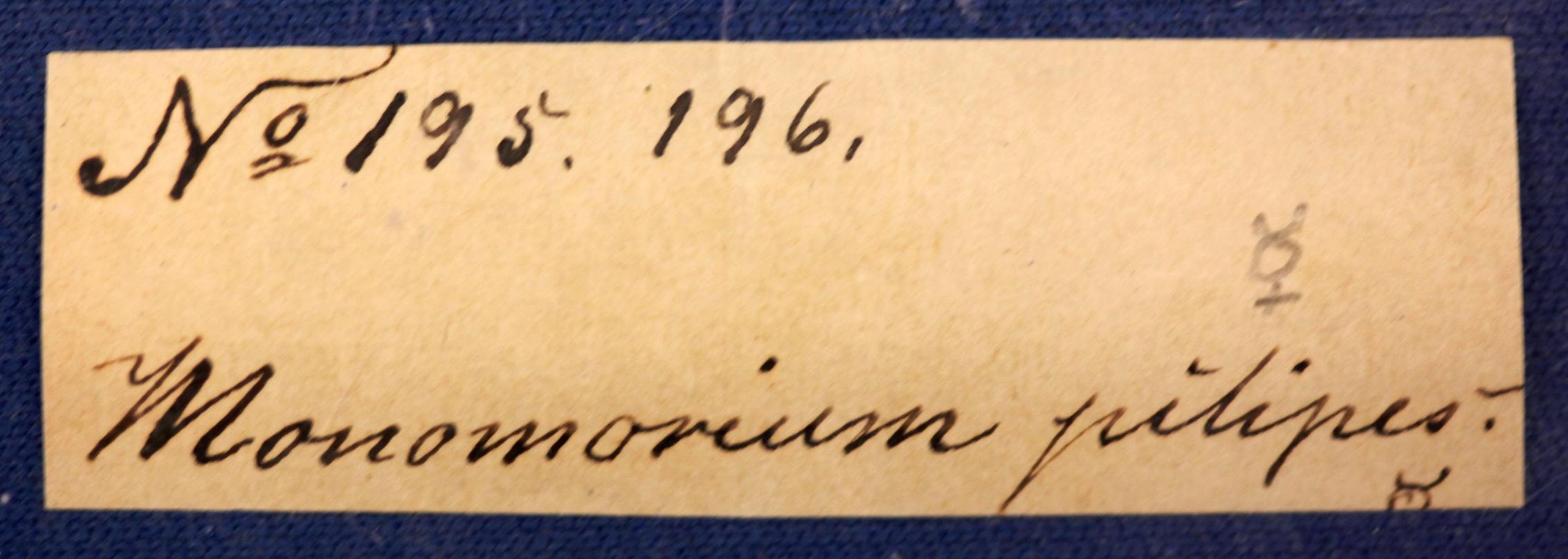 Image of Monomorium pilipes