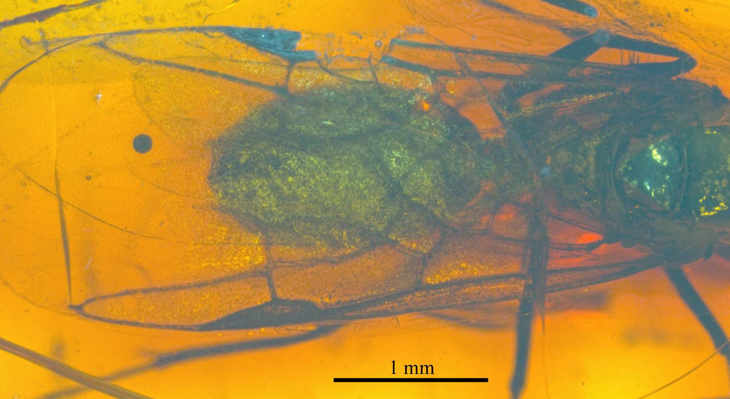 Image of Dolichoderus longipennis