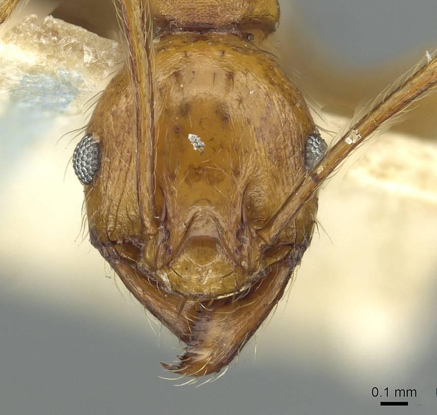 Image of Pheidole pulchella