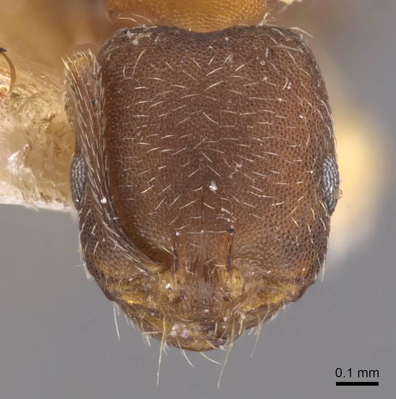Image of Monomorium hannonis