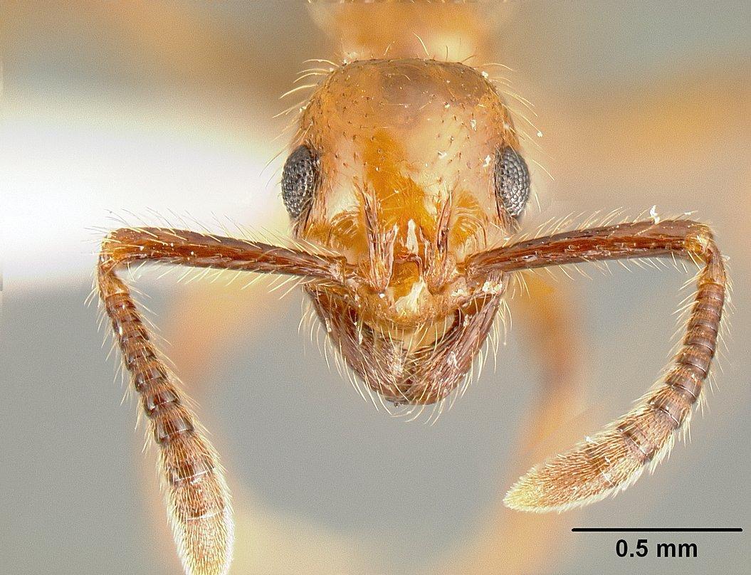Image of Megalomyrmex symmetochus