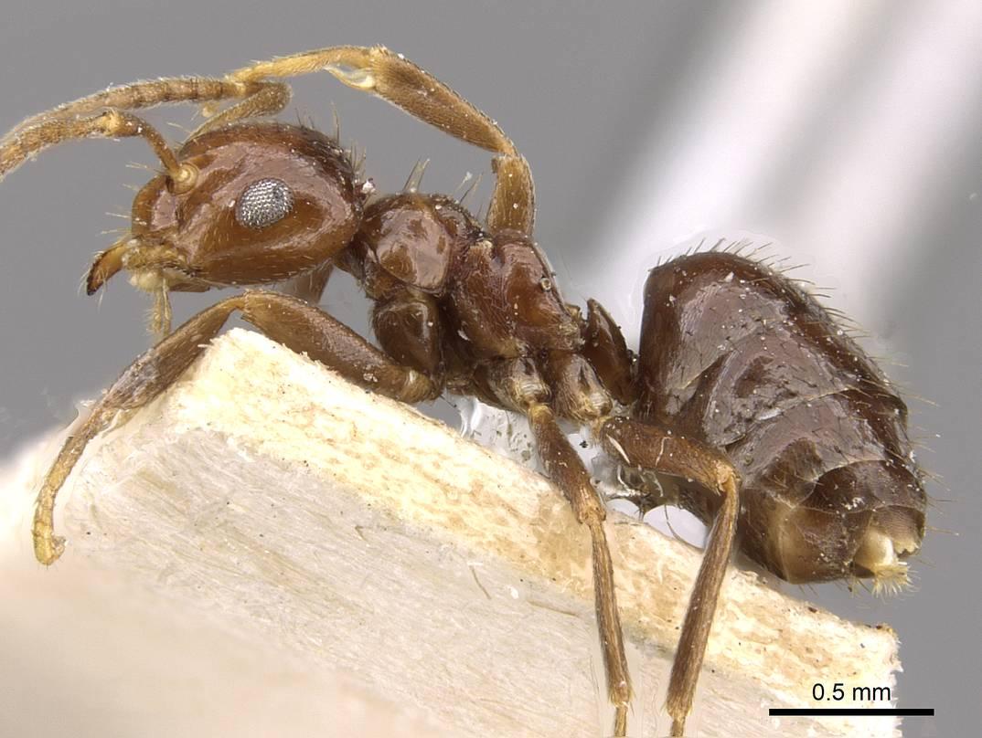 Image of Brachymyrmex incisus