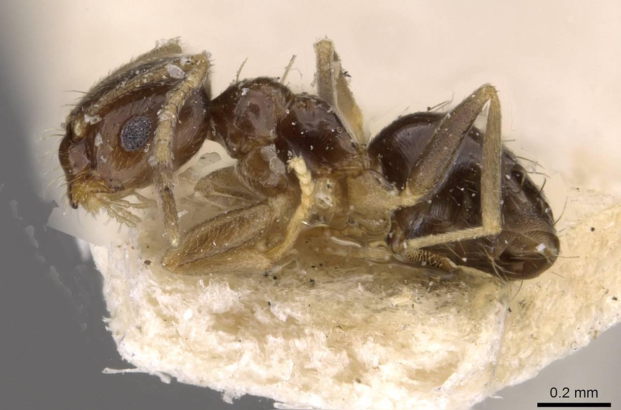 Brachymyrmex musculus image