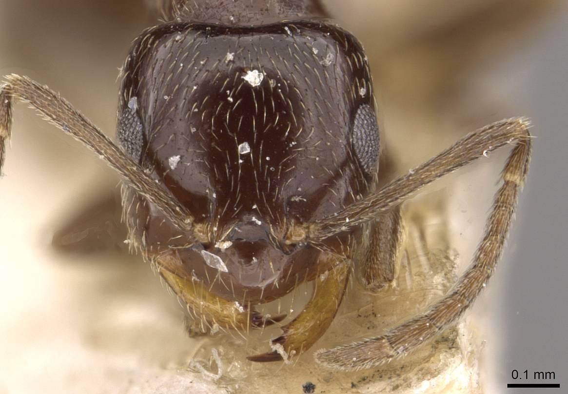 Image of Brachymyrmex bruchi