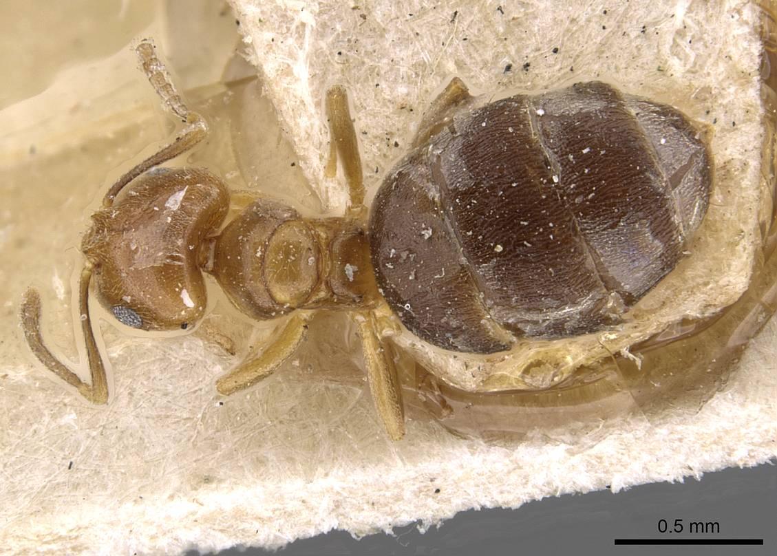 Image of Brachymyrmex goeldii